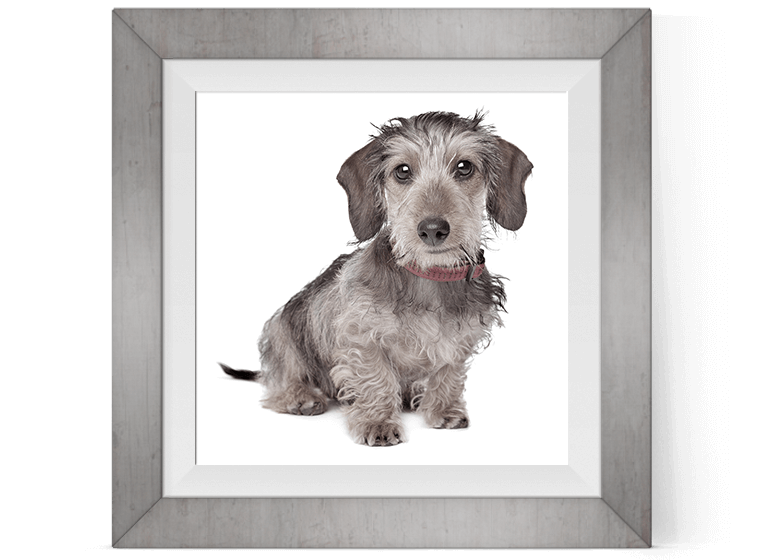 Little darling wire haired dachshund mascot for Pretty Present gift wrapping service